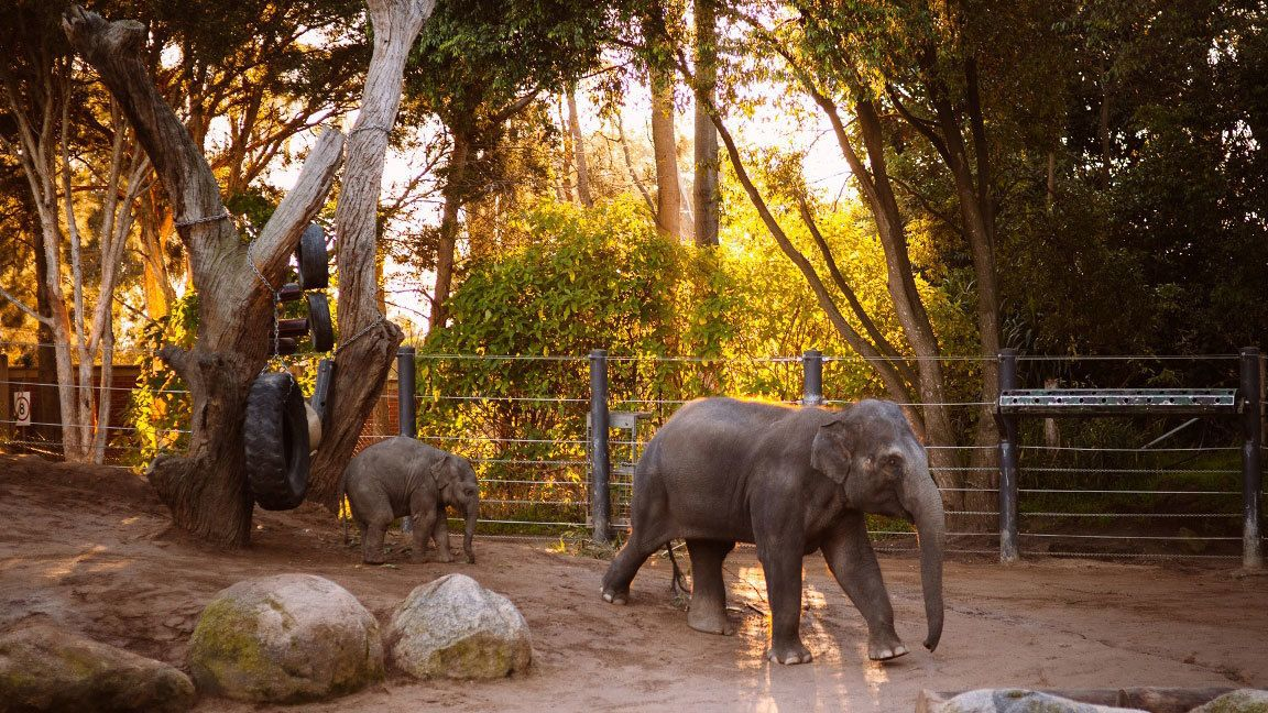 Young elephants at the Melbourne Zoo in Australia