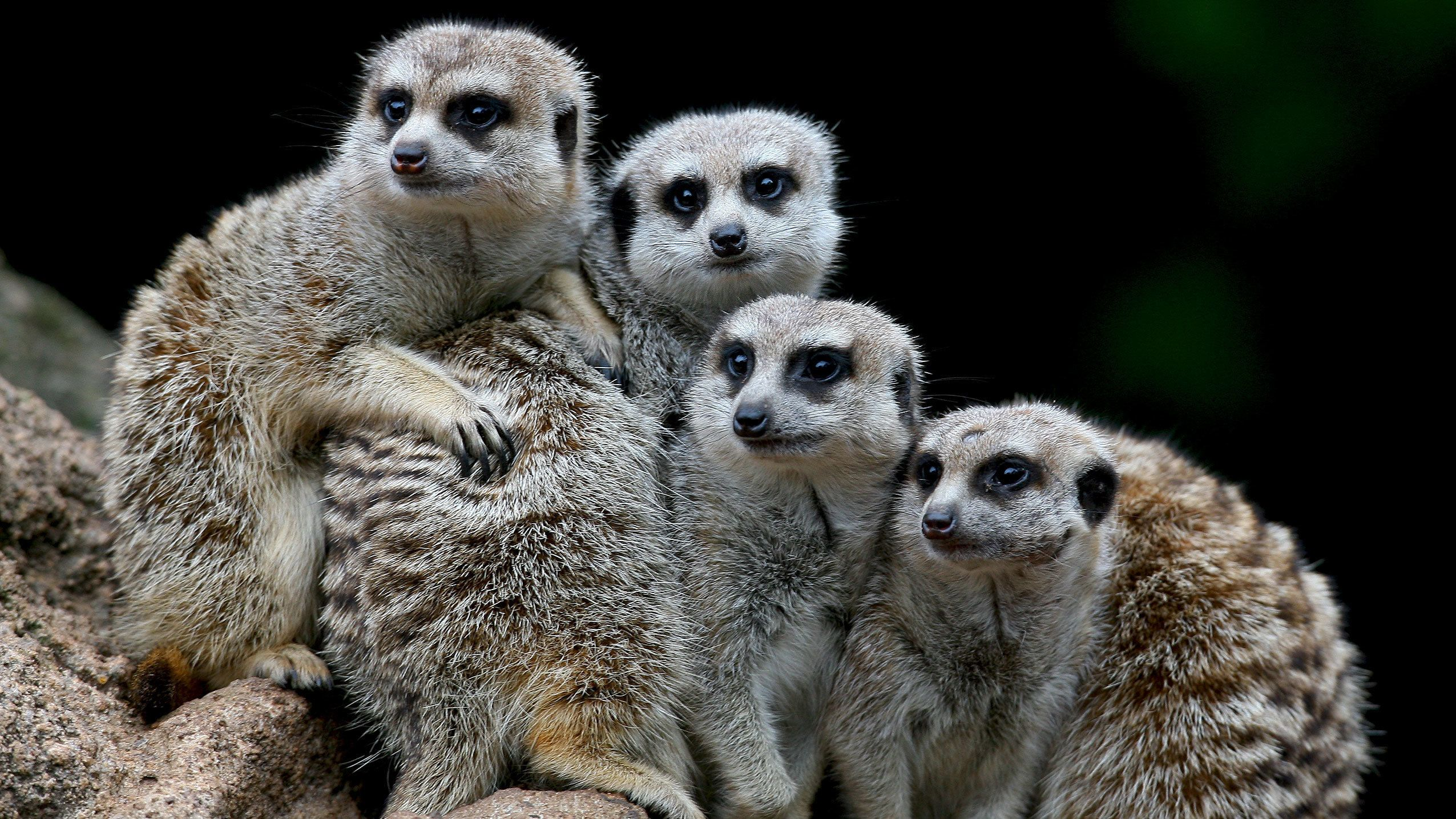 Huddled group of meerkats at the Melbourne Zoo in Australia