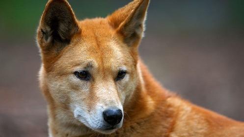 A dingo at the Healsville Sanctuary in Australia