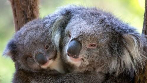 Huddled koalas at the Healsville Sanctuary in Australia