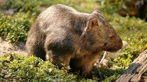 wombat at the Healsville Sanctuary