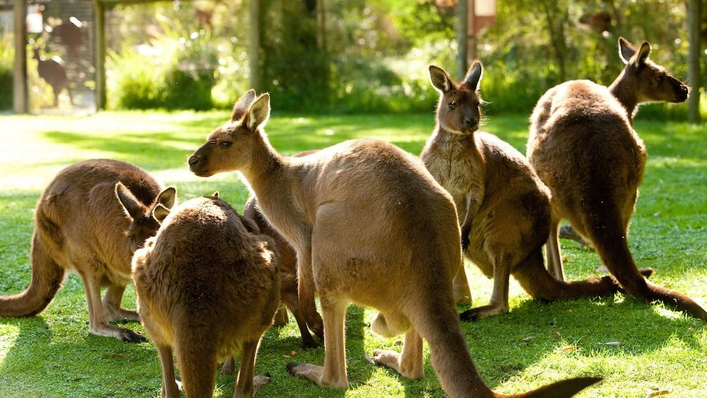 Charger l'élément 1 sur 7. A group of kangaroos at the Healsville Sanctuary in Australia