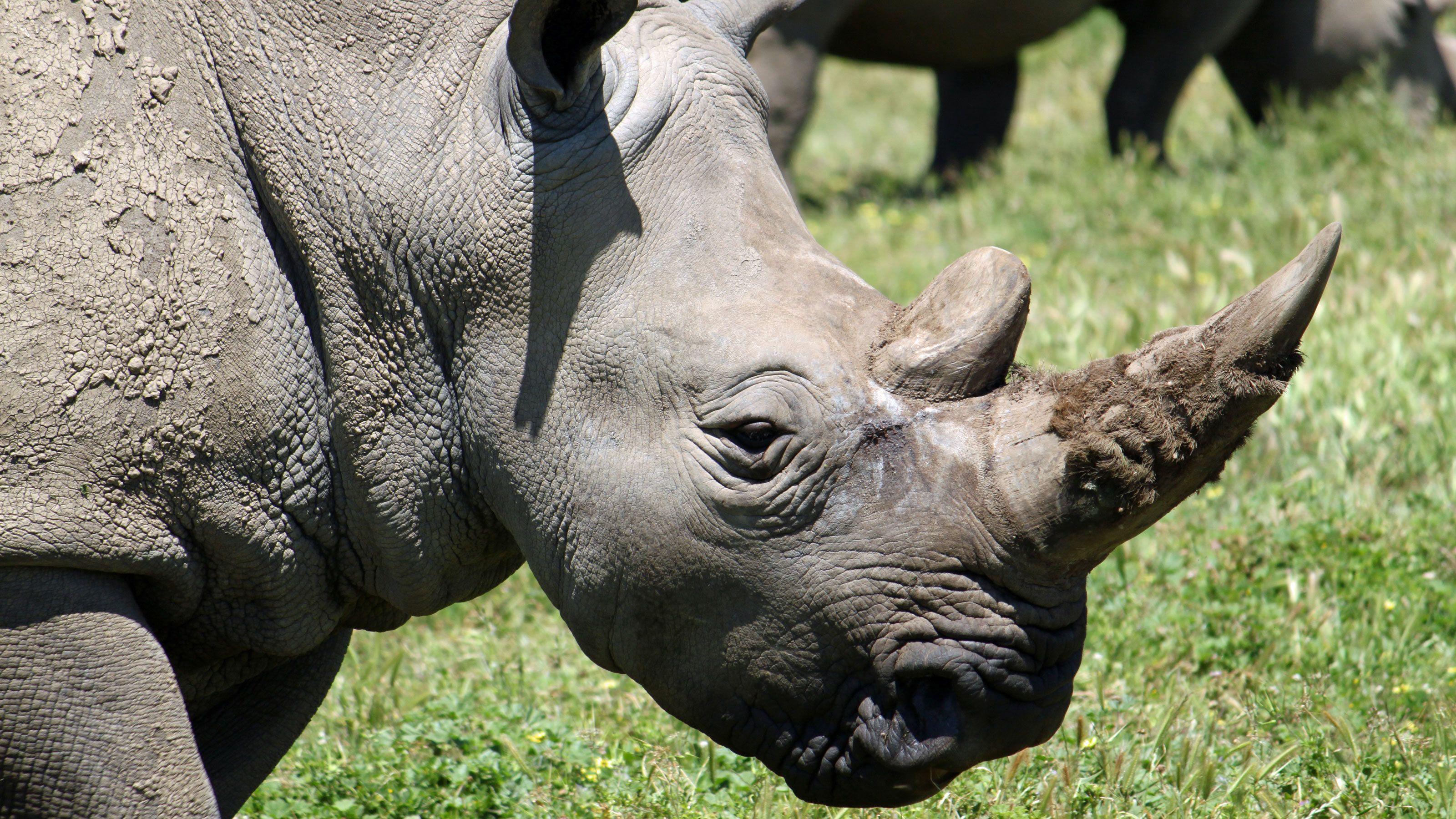 Rhinoceros at the Werribee Open Range Zoo in Australia