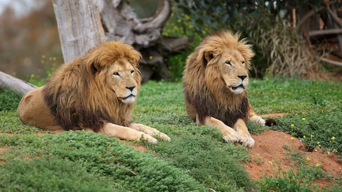 Two lions resting at the Werribee Open Range Zoo in Australia