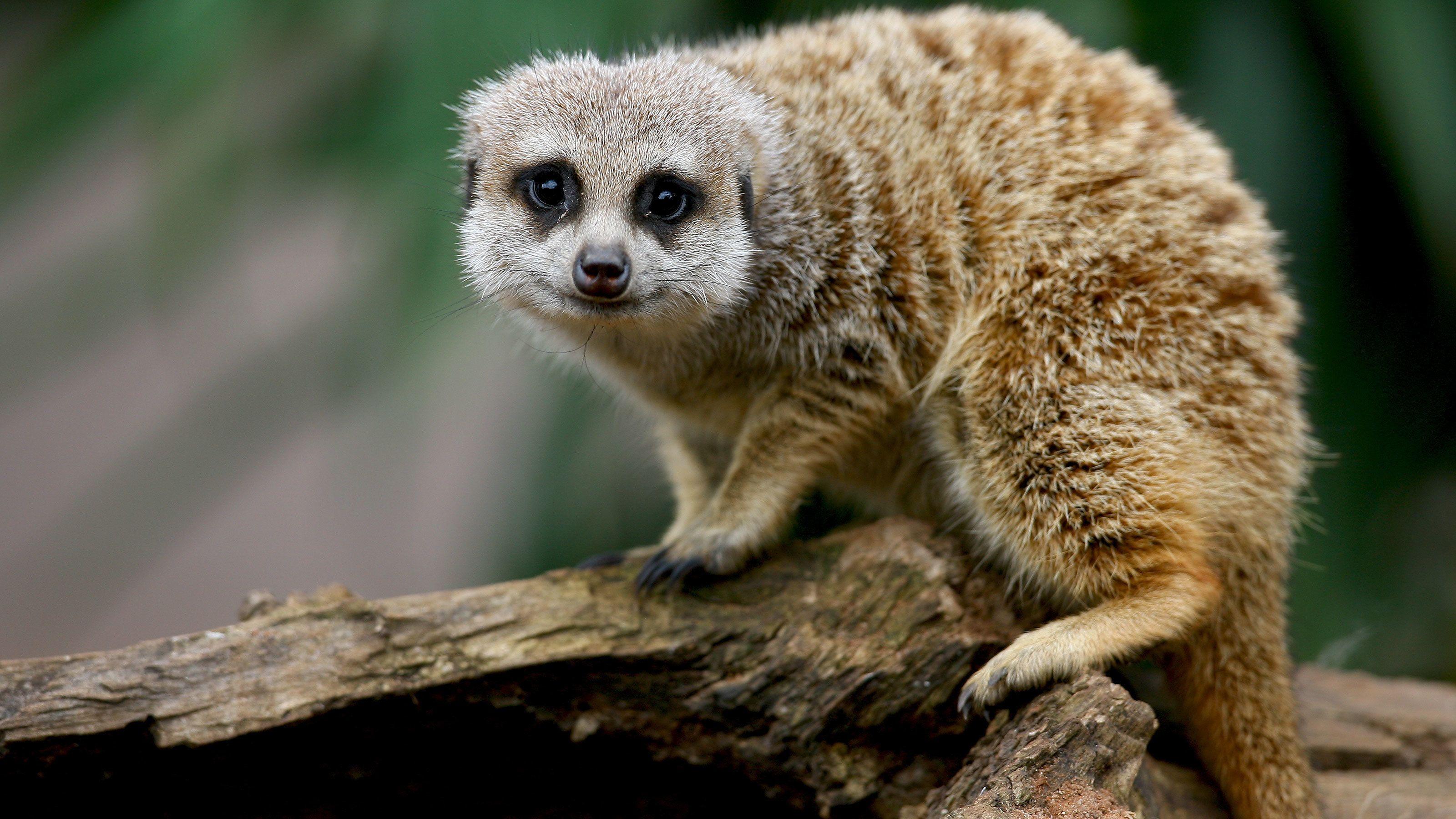 Meerkat foraging at the Werribee Open Range Zoo in Australia
