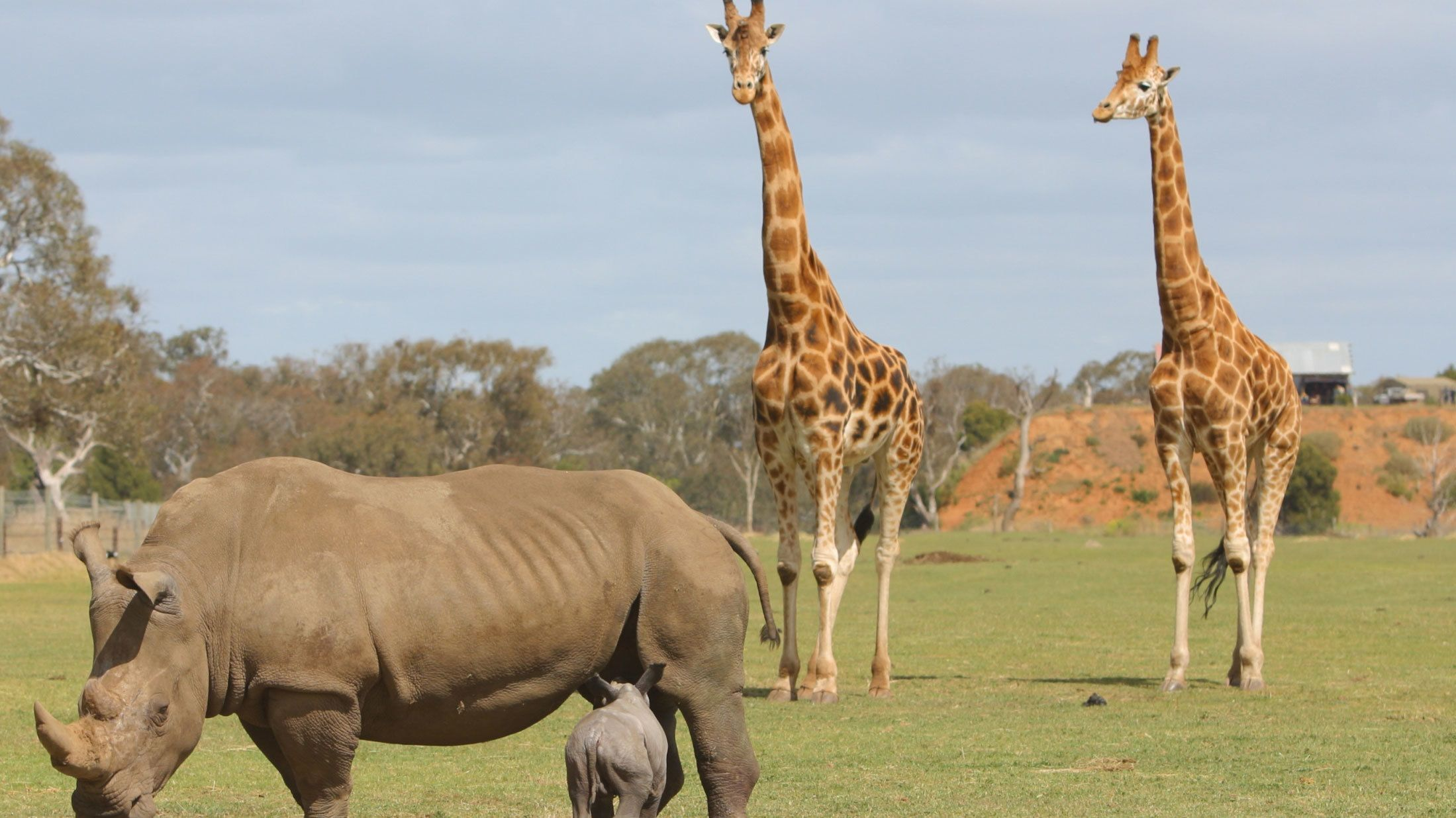 Rhino and giraffes at the Werribee Open Range Zoo