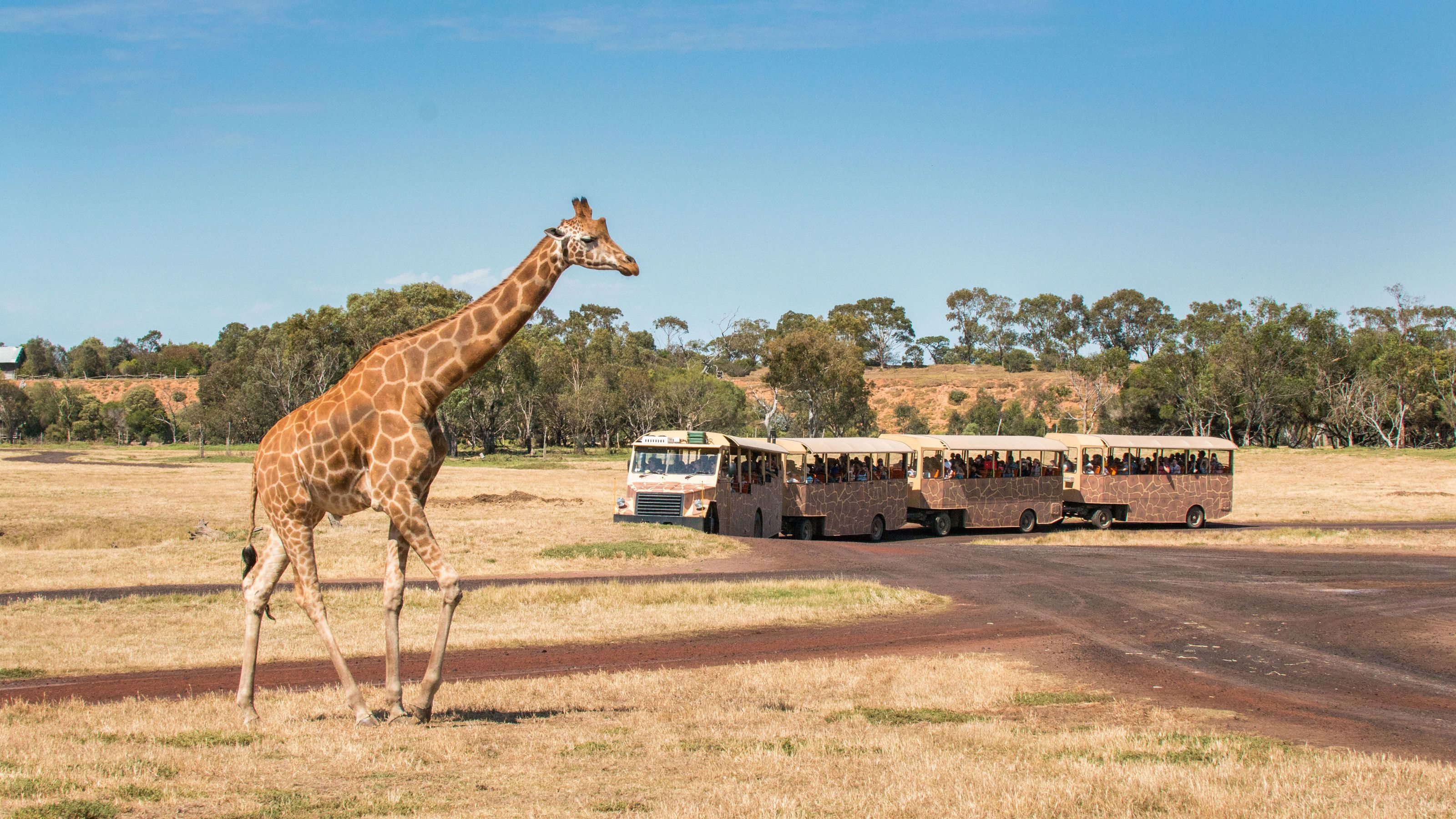 Giraffe at the Werribee Open Range Zoo
