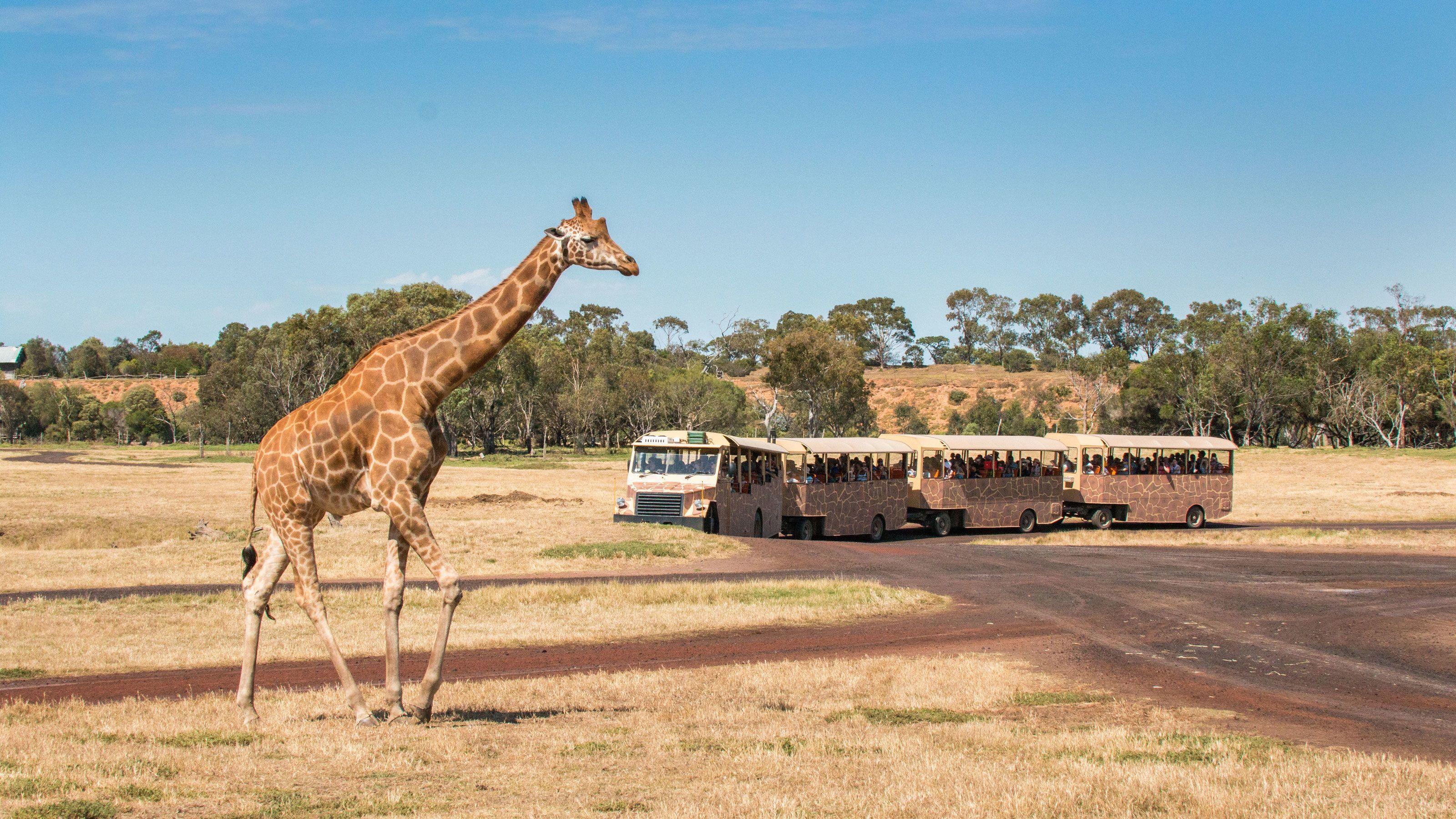 Giraffe at the Werribee Open Range Zoo