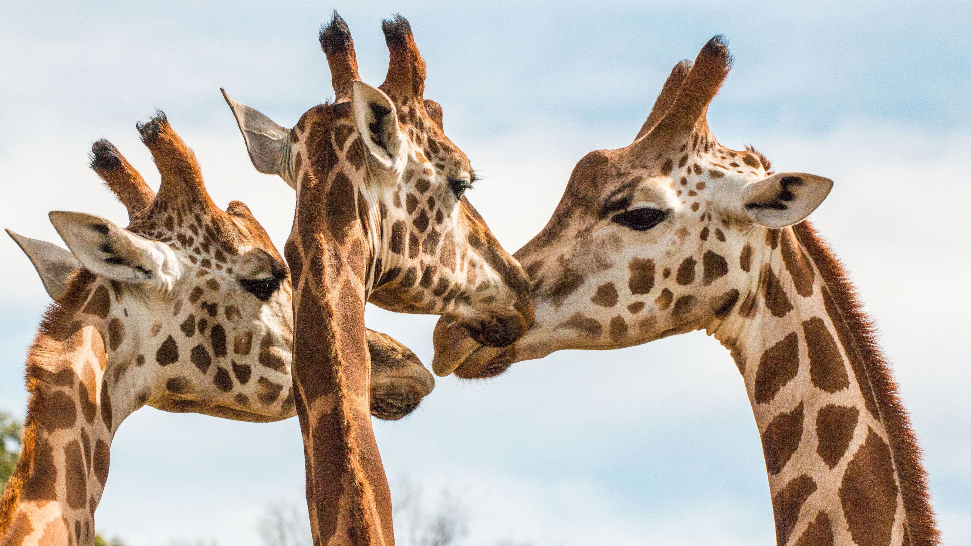Giraffes grooming at the Werribee Open Range Zoo in Australia