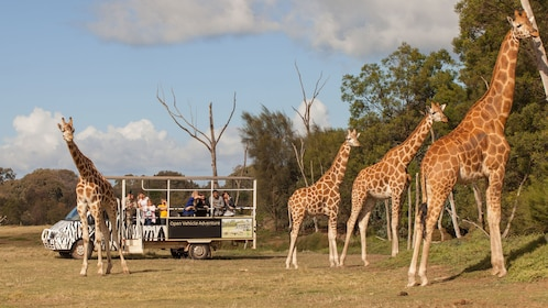 Group watching giraffes from a vehicle at the Werribee Open Range Zoo in Australia