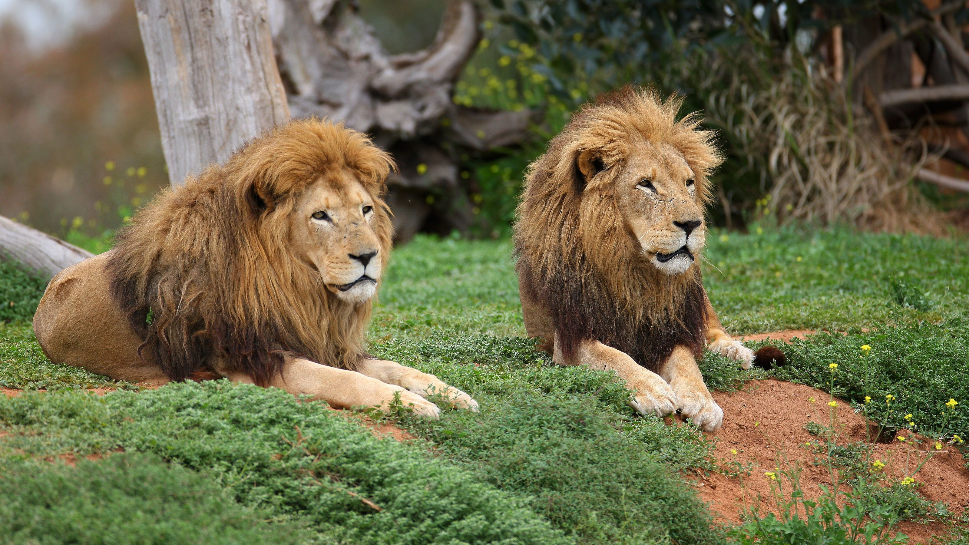 Two male lions resting at the Werribee Open Range Zoo in Australia