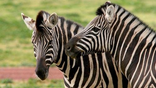 Zebras at the Werribee Open Range Zoo in Australia