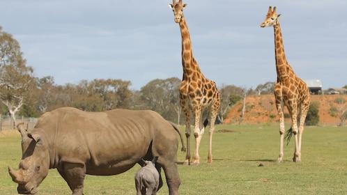 Giraffes and rhinoceros at the Werribee Open Range Zoo in Australia