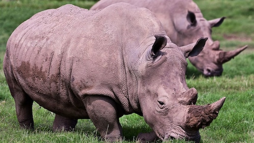 Two rhinoceros grazing at the Werribee Open Range Zoo in Australia