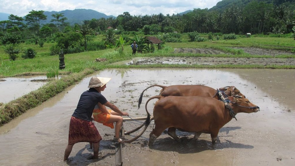Farmer with ox in a rice field in Bali