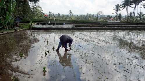 A farmer plating rice in his field in Bali