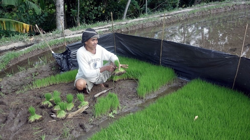 A farmer gathering rice from his field in Bali