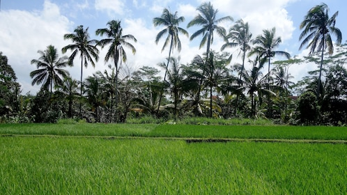 Palm trees towering over a rice field in Bali