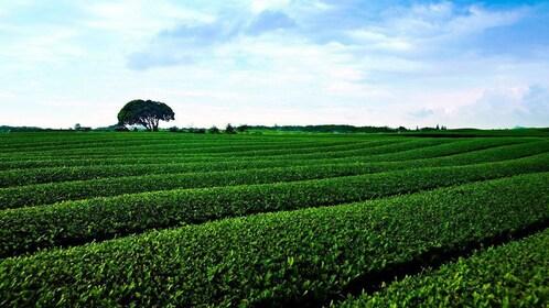 Rolling fields on Jeju Island