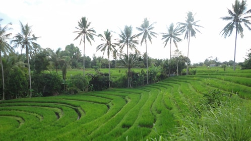 Palm trees tower over a rice field in Bali