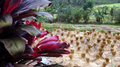 Colorful flowers overlook a rice field in Bali