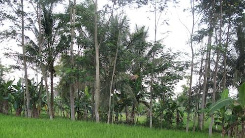 Trees in Yogyakarta