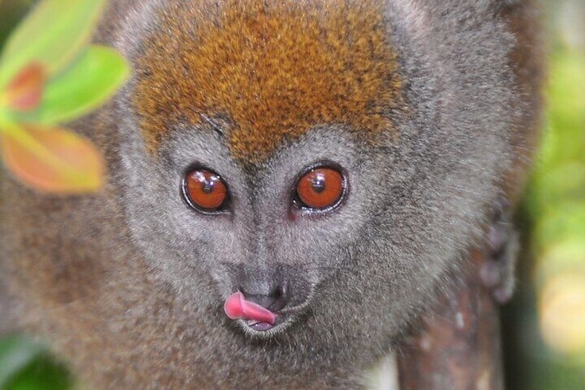 You will see different kind of Lemurs when visit Ranomafana National Park.