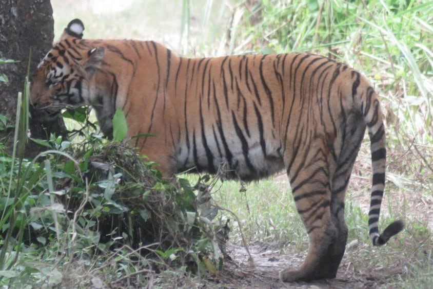 Royal Bengal Tiger was sighted by jeep tour in Chitwan National Park.