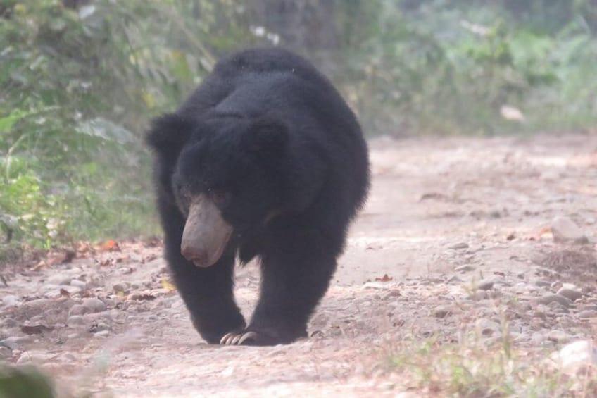 Sloth Bear.
