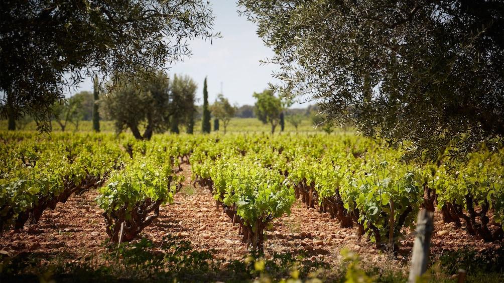 Charger l'élément 1 sur 5. Visiting a vineyard in Cannes