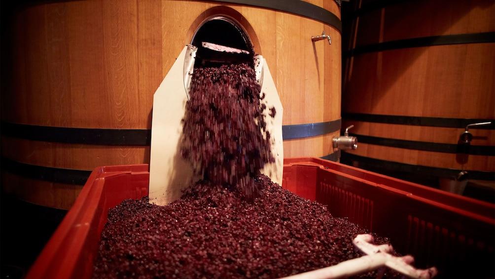 Charger l'élément 3 sur 5. Processing grapes at the vineyard in Cannes