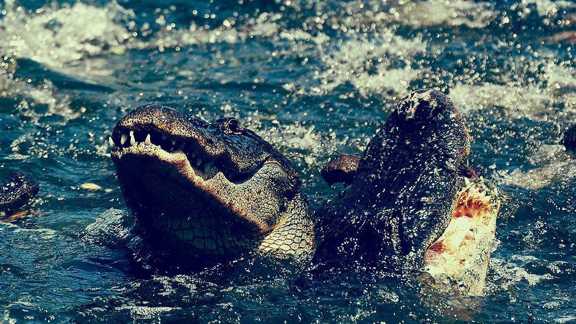 Alligator feeding frenzy in Orlando.