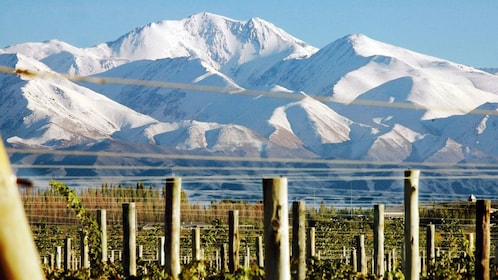 Snow covered peaks of a mountain range in mendoza as seen from a vineyard