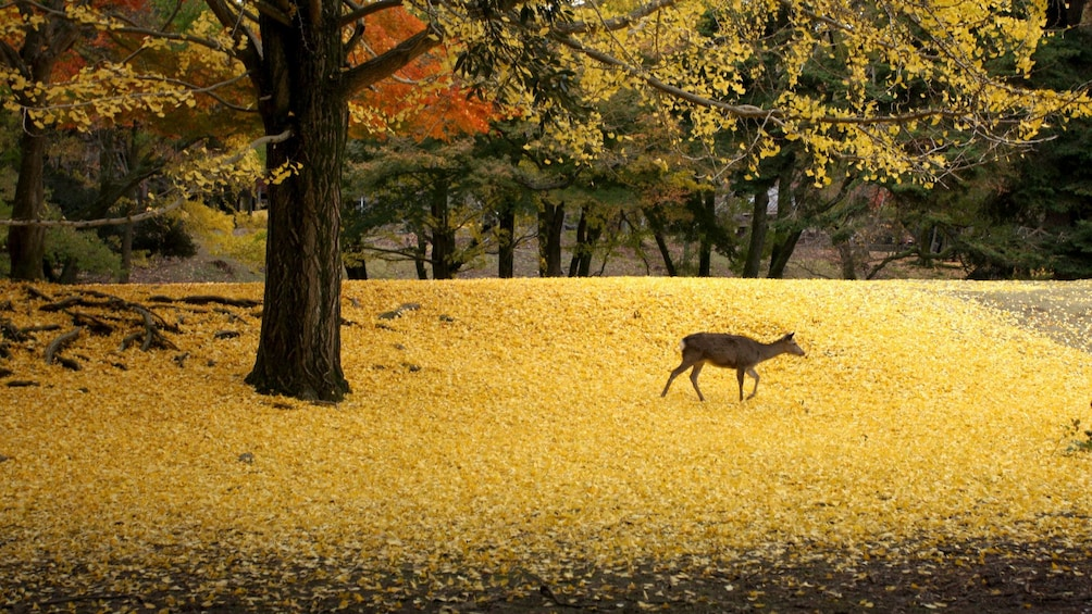Show item 1 of 5. A grazing deer outside the temple in Japan