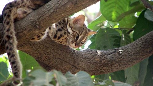 Cat on a tree branch at the Phnom Tamao Wildlfe Rescue Centre in Tamao
