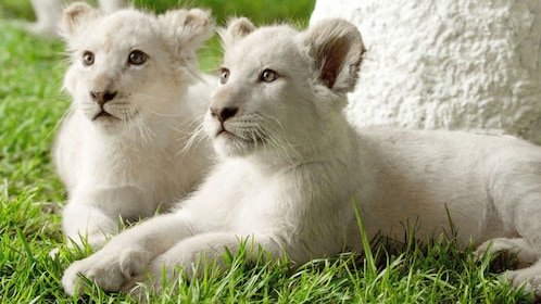 Tiger cubs within Siegfried and Roy's Secret Garden and Dolphin Habitat in Las Vegas