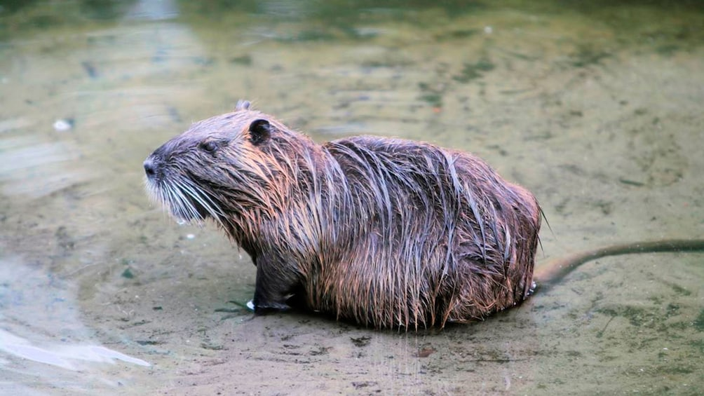 Show item 2 of 10. wet capybara in alligator farm in New Orleans