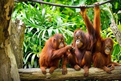 Semenggoh Wildlife Centre (Afternoon Feeding)