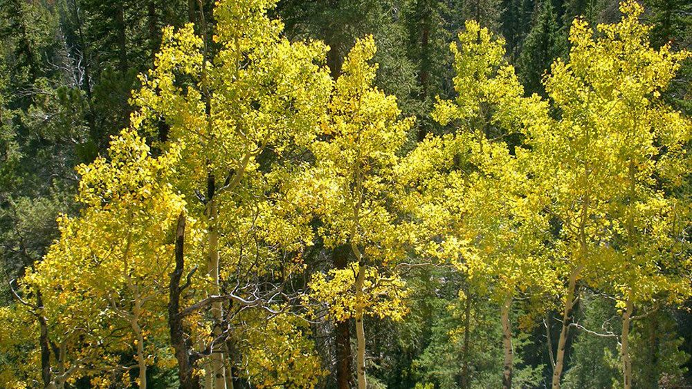 Aspen trees in Denver