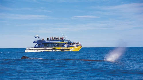 Whale surfacing for air in the Kaikoura whale watching tour in Christchurch New Zealand.