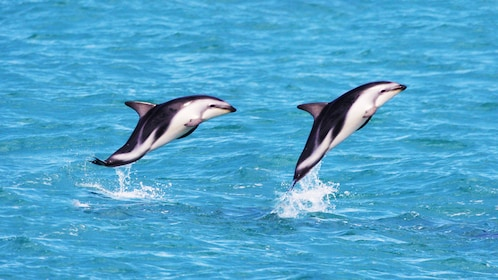 Jumping dolphins in Kaikoura dolphin swimming tour in Christchurch New Zealand.