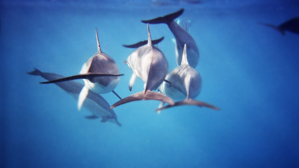 Show item 2 of 5. Underwater view of pod of dolphins in Kaikoura dolphin swimming tour in Christchurch New Zealand.
