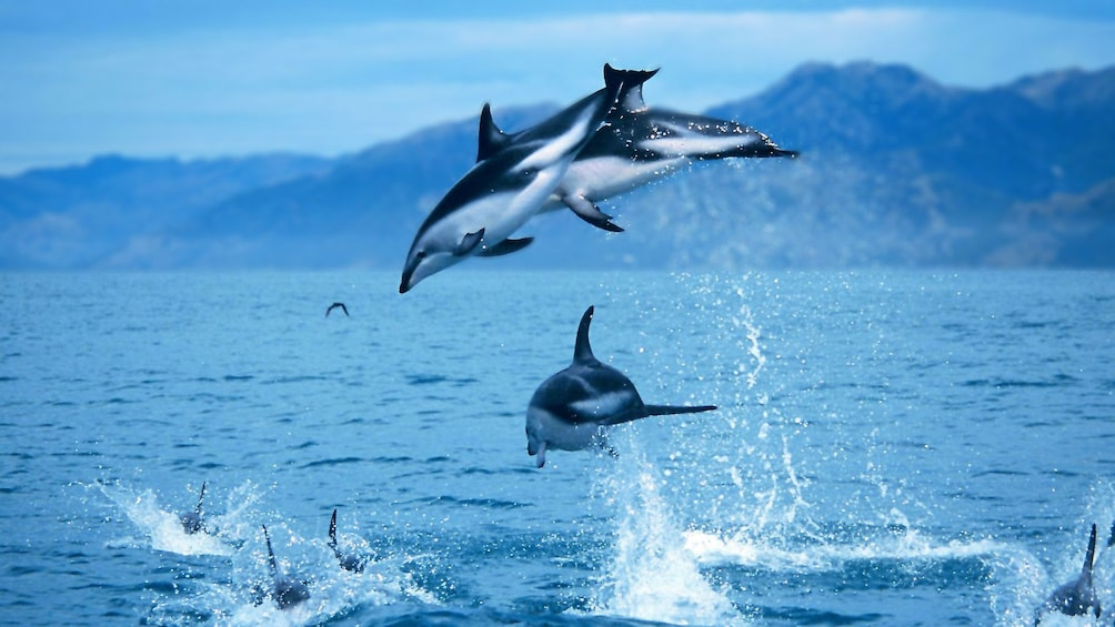 Show item 1 of 5. Jumping dolphins in Kaikoura dolphin swimming tour in Christchurch New Zealand.