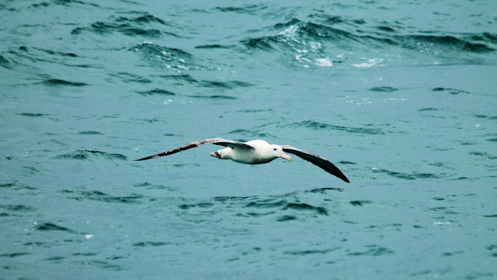 Show item 3 of 5. Sea bird flying over water in Kaikoura Albatross encounter boat tour in Christchurch New Zealand.