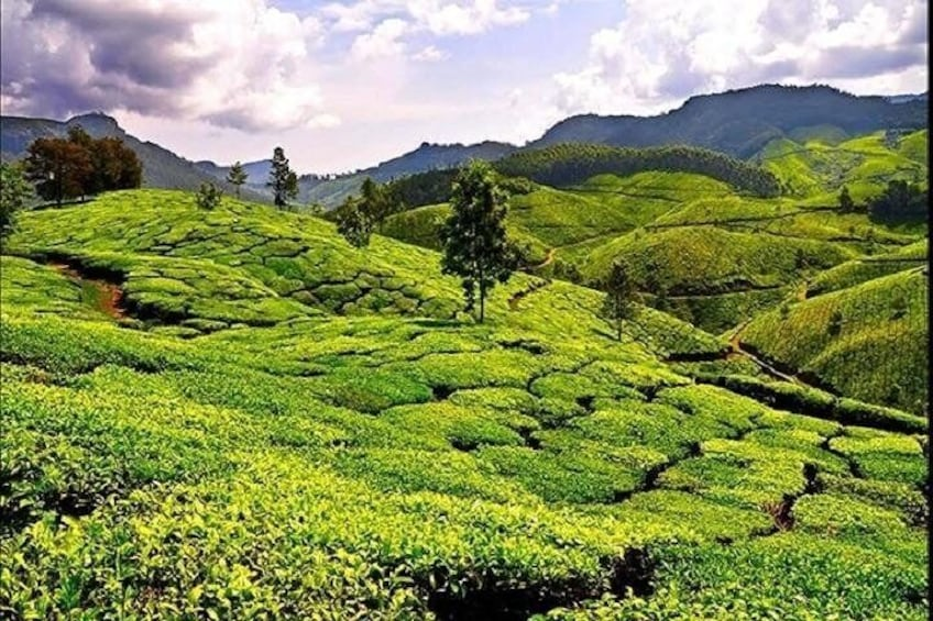Tea Garden in Sreemangaal