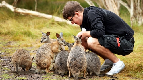Man feeding group of baby wallabies