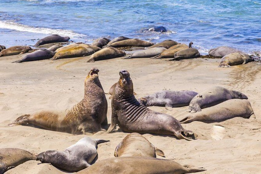 Show item 5 of 15. Elephant Seal Rookery