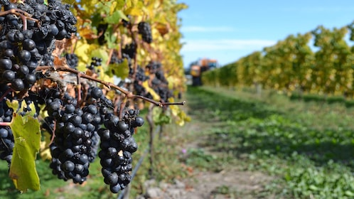 Close up of grapes on vines in the Waipara Valley Wine tour in New Zealand.
