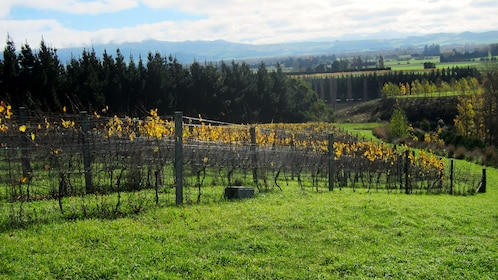 Rows of grapevines on Waipara Valley in New Zealand.