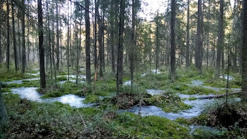 A forest with a winding creek in Sipoonkorpi